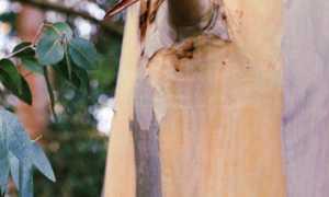 Эвкалиптовый веник для бани – когда заготовлять, как запарить, советы